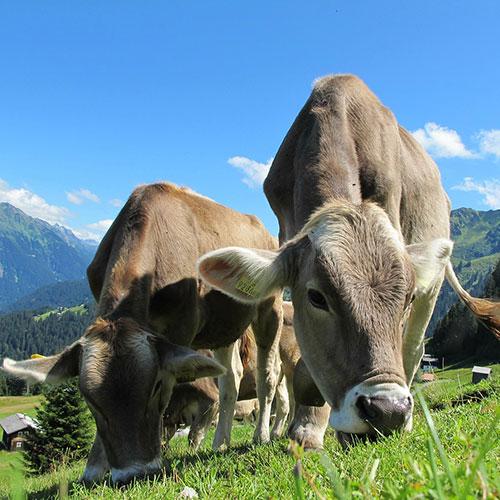 vache paturage