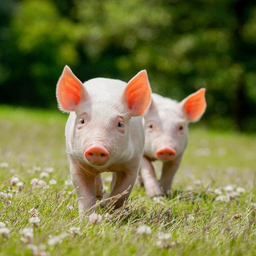 bien-être animal cochon